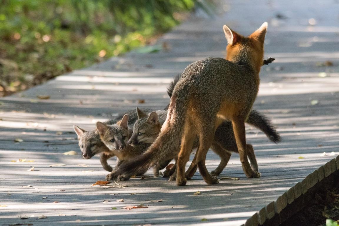 Richardson Foxes