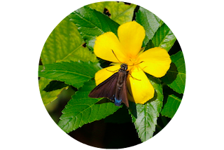 Snook Creek - Mangrove Skipper Butterfly