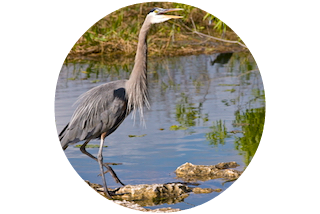 Colachahee -Great Blue Heron
