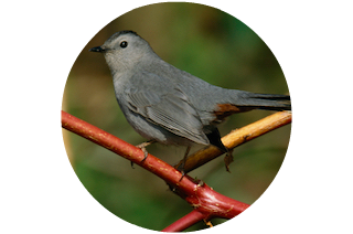 Richardson - Gray Catbird
