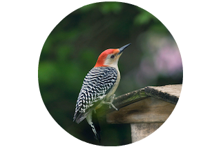 Island - Red-Bellied Woodpecker