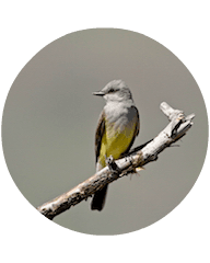 Gray Kingbird2
